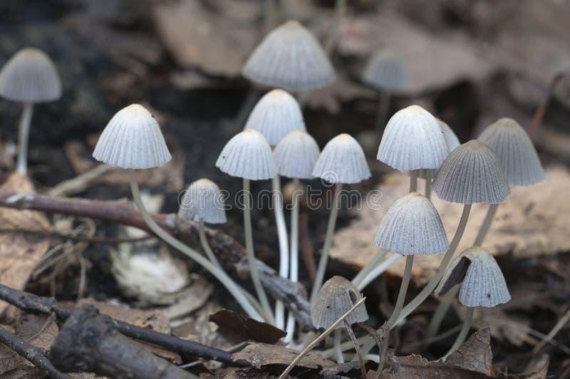 Mushrooms (Coprinus disseminatus) on a stump. In a green moss stock photos