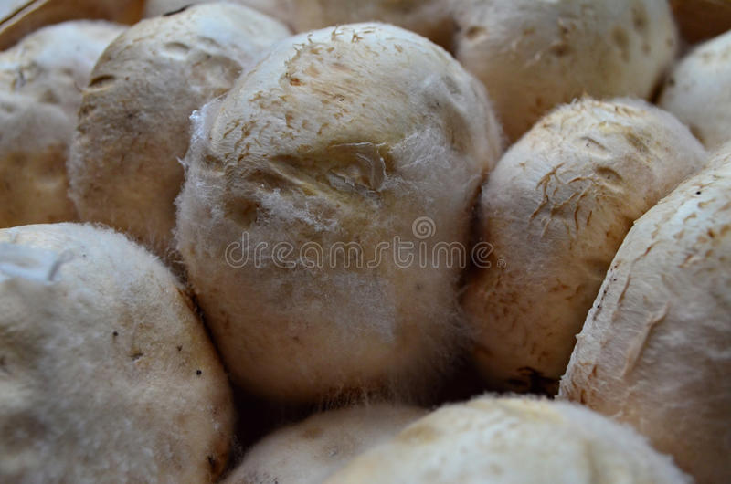 Mushrooms covered with mold. Missing mushrooms covered with mold royalty free stock photo