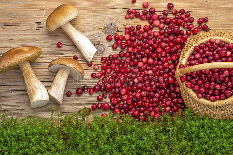 Mushrooms, cranberries and moss. Autumn goodies: mushrooms and cranberries on old rustic board. Healthy and row food. Protein and vitamin C stock image