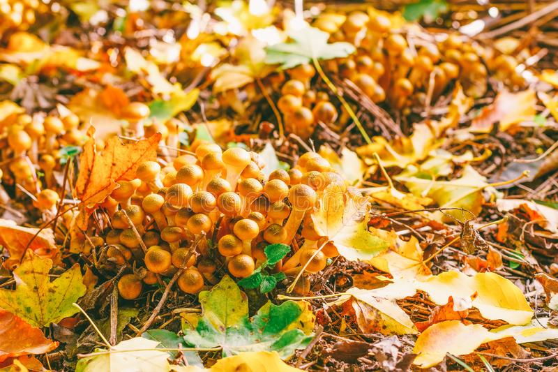 Mushrooms in fallen leaves in the forest on a Sunny autumn morning. Edible mushrooms in fallen leaves in the forest on a Sunny autumn morning stock photos