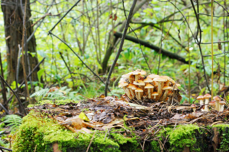 Download Mushrooms in the forest stock image. Image of bunch, uncultivated - 23321537