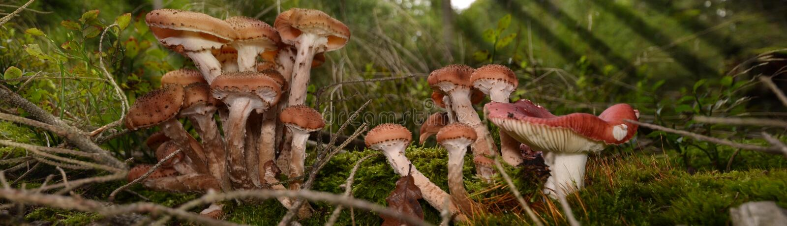 Mushrooms forest gather boletus chanterelle moss magical. Small mushrooms in autum forest on ground royalty free stock photo