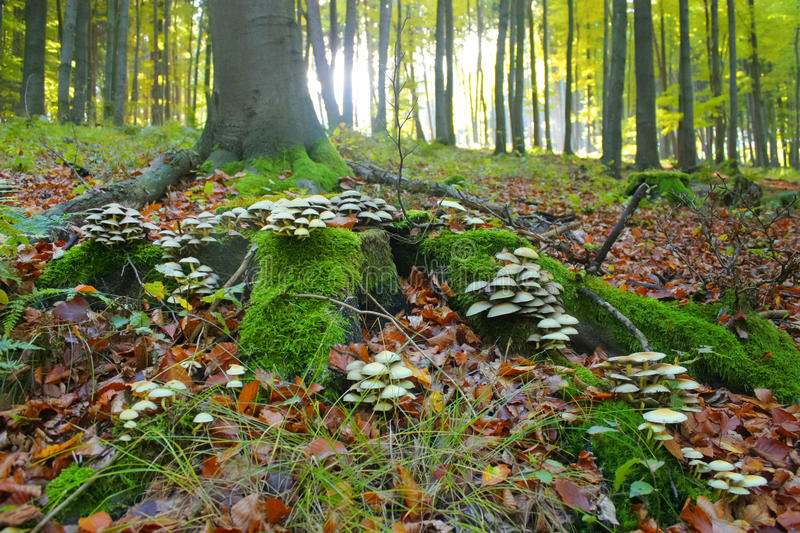 Mushrooms in the forest. Grow on tree root royalty free stock image