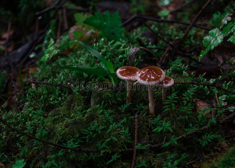 Mushrooms in the forest. Forest after rain. Nature. Natural still life. Mushrooms. Flora. Background. Abstraction. Under the leaves and twigs hiding mushrooms stock image