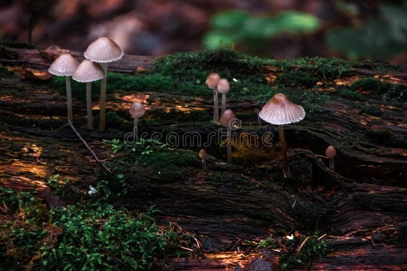 Mushrooms in the forest. Forest after rain. Nature. Natural still life. Mushrooms. Flora. Background. Abstraction. Under the leaves and twigs hiding mushrooms royalty free stock photo