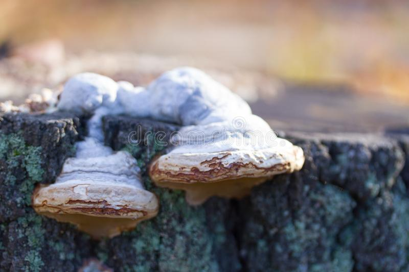 mushrooms or fungus on a tree stock photos