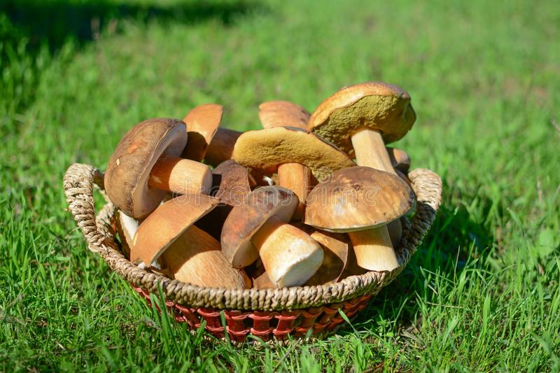 Basket of wild mushrooms. The mushrooms gathered in the wood royalty free stock photos