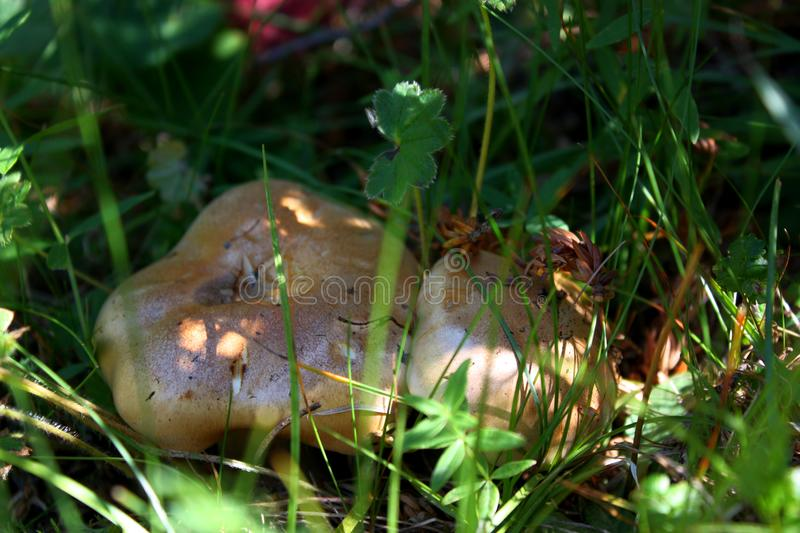 Mushrooms in grass. Mushrooms from Alatau mountains in green grass. Found in forest near the Kapal district stock photos