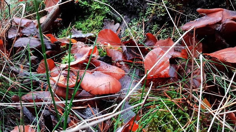 Mushrooms in the grass. Leaves in the grass. Early autumn royalty free stock photo