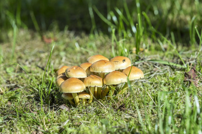 Mushrooms on green grass. Rgowing on an old tree stump stock photography