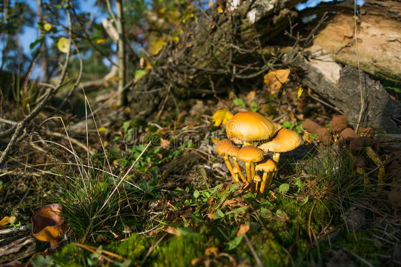 Mushrooms. Group of tiny mushrooms in a forrest stock photography