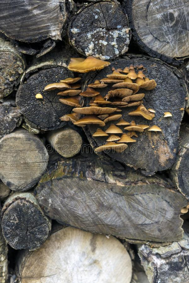 Mushrooms. Growing in Tree Trunk royalty free stock photography