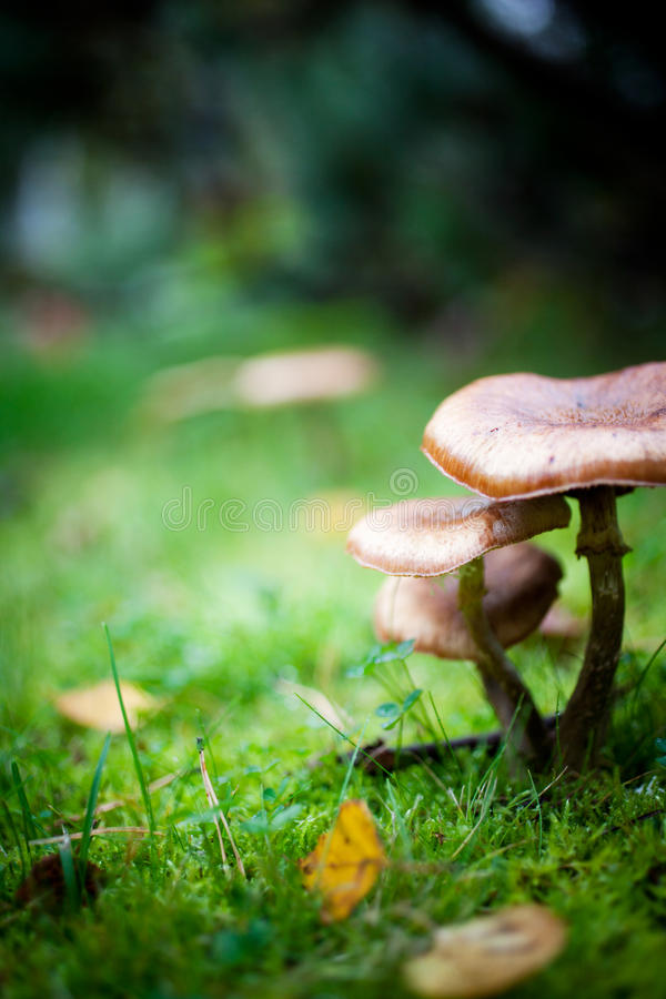 Mushrooms. Growing in wet autumn weather royalty free stock image