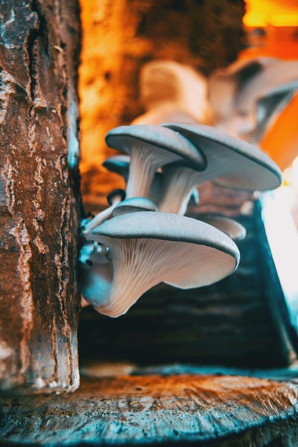 Mushrooms grown in medieval market of Vic. Catalonia, Spain royalty free stock image