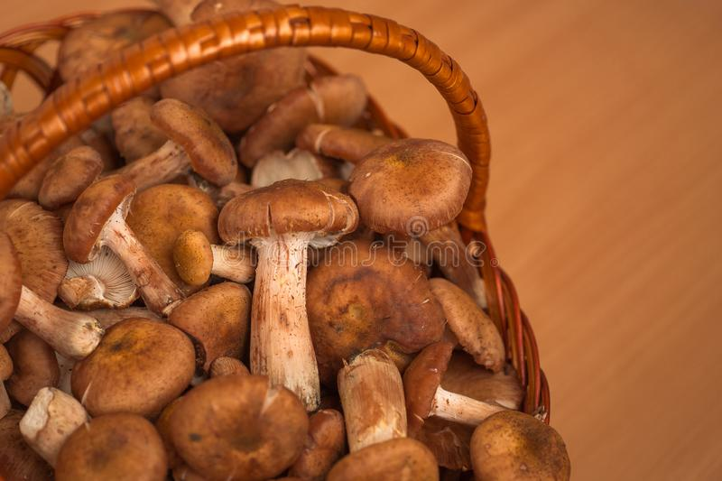 Mushrooms. Honey agaric. stock photos