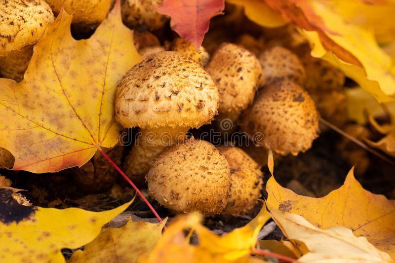Mushrooms Honey Agarics Armillaria Mellea With Maple Leaves. Little Mushrooms Honey Agarics Armillaria Mellea With Maple Leaves Grow In Forest Close Up stock photos