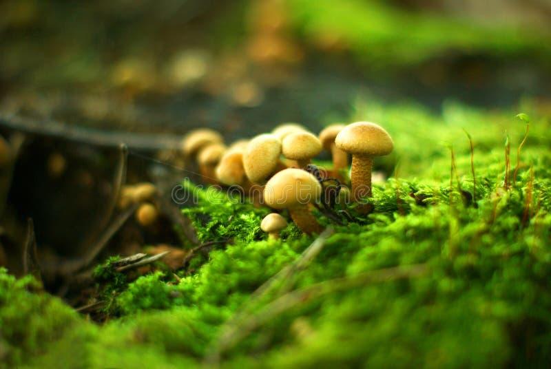 Mushrooms and moss royalty free stock photo