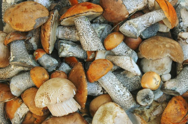 Mushrooms. Porcini mushrooms and orange-cap boletus in bulk as a background royalty free stock images