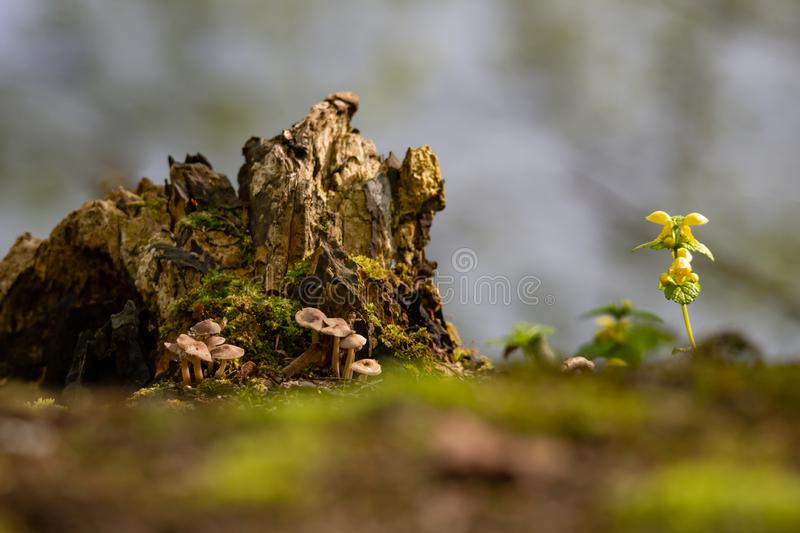 Mushrooms, rotten tree trunk and yellow dead nettle stock image