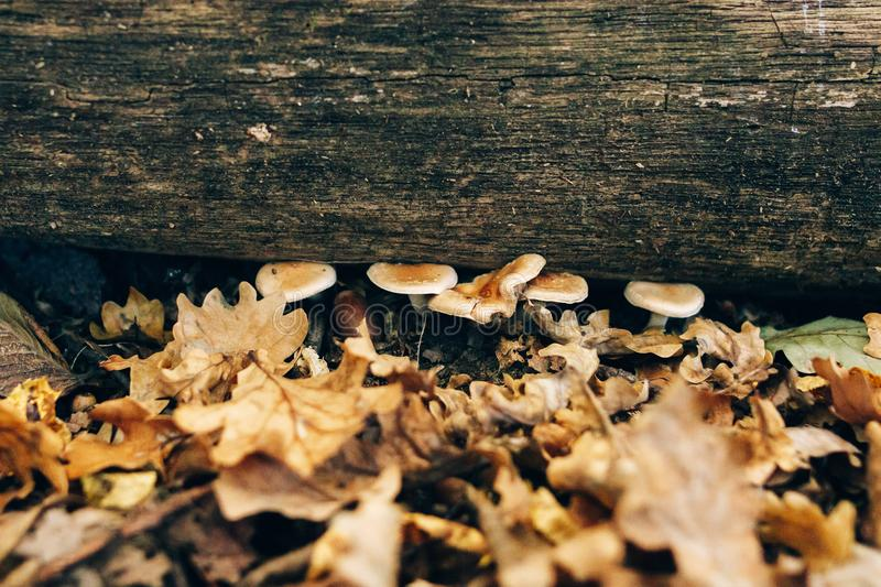 Mushrooms on stump with green moss and autumn leaves in sunny woods. Mushroom hunting in autumn forest. Hypholoma fasciculare. Gilled fungi royalty free stock images