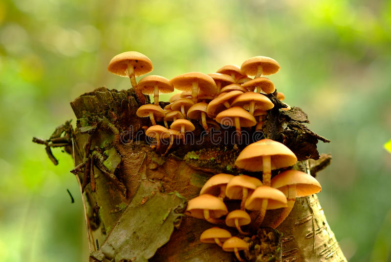 Mushrooms and stump stock image