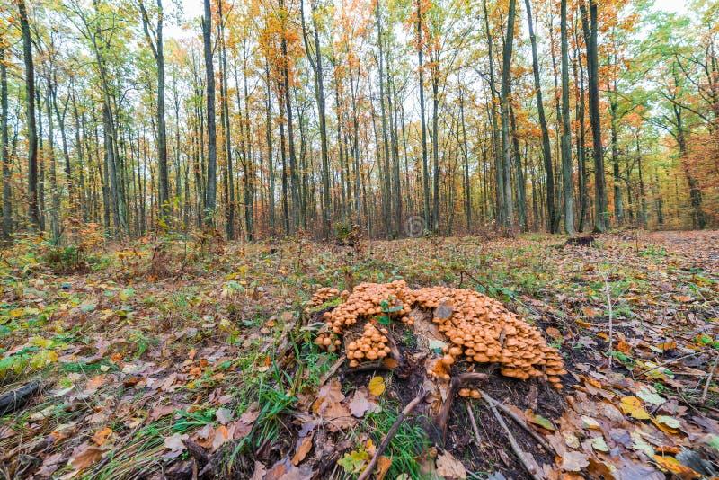 Mushrooms sulphur tuft. Grow around the trunk stock images