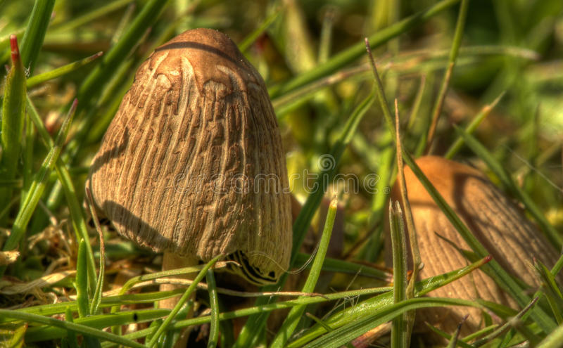 Mushrooms For Tea?. One of a huge series of mushrooms I'm not sure I would want to eat for fear that I might not survive or may 'trip' off into another world! royalty free stock photos