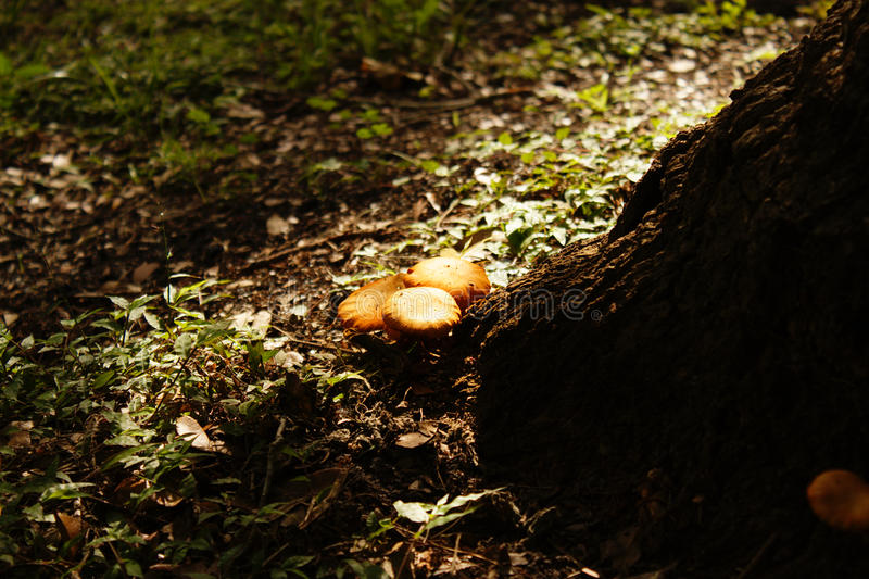 Mushrooms Before the Tree. Brownish-red mushrooms grow at the base of a tree, while grasses surround stock photography