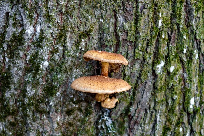 Mushrooms on the tree royalty free stock images