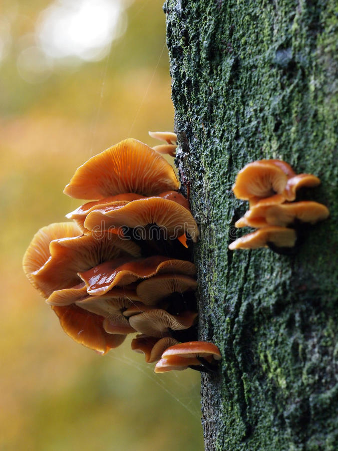Download Mushrooms on a tree stock photo. Image of food, brown - 51930372