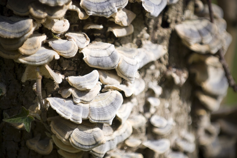 Mushrooms on trunk. Mushrooms grown on tree trunk, close-up royalty free stock images