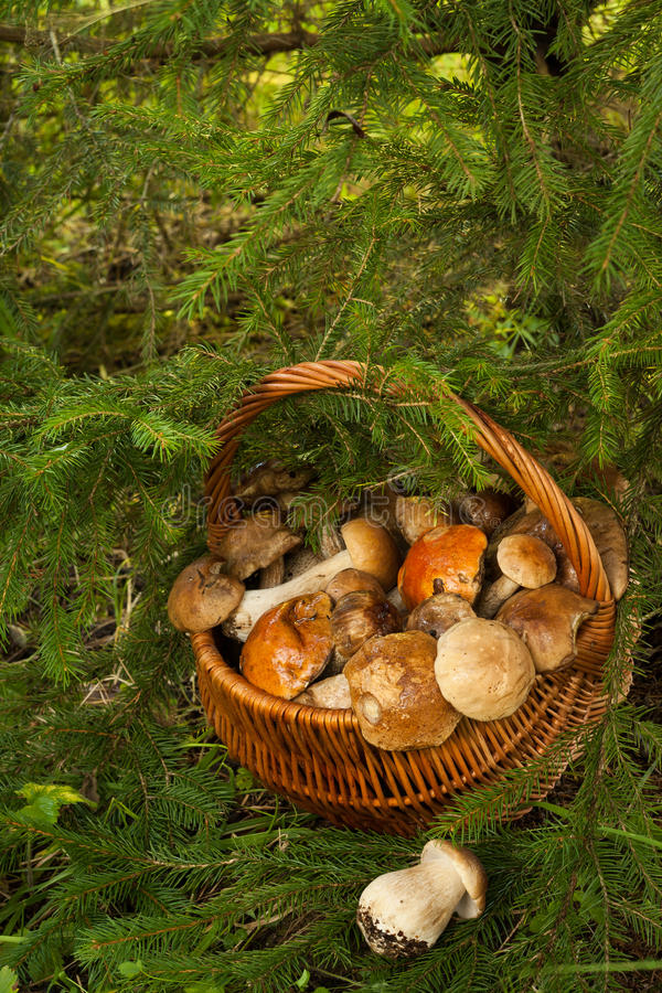 Mushrooms In Wattled Basket In Forest. royalty free stock image