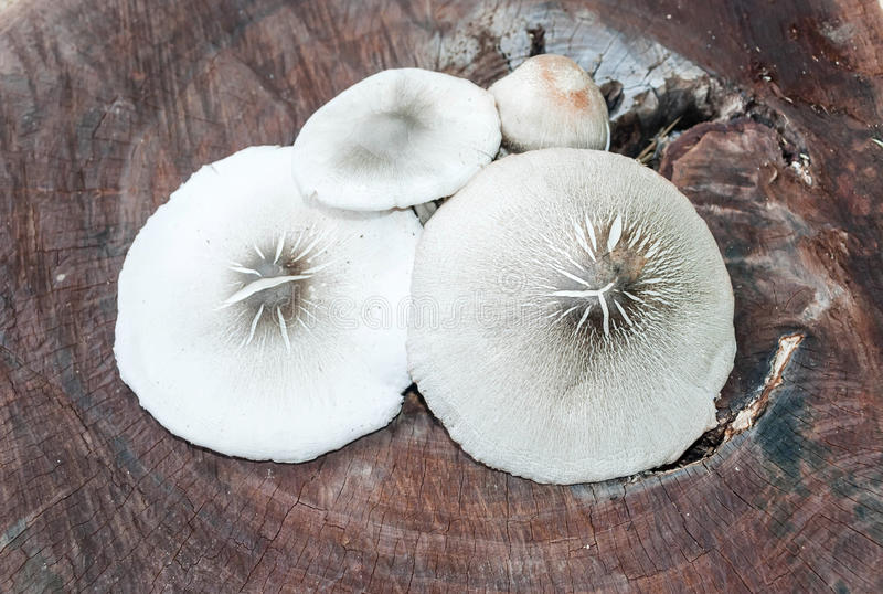 Mushrooms on white background royalty free stock images