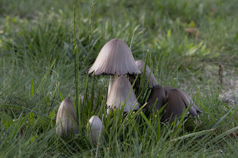 Mushrooms in the wild forest royalty free stock photography