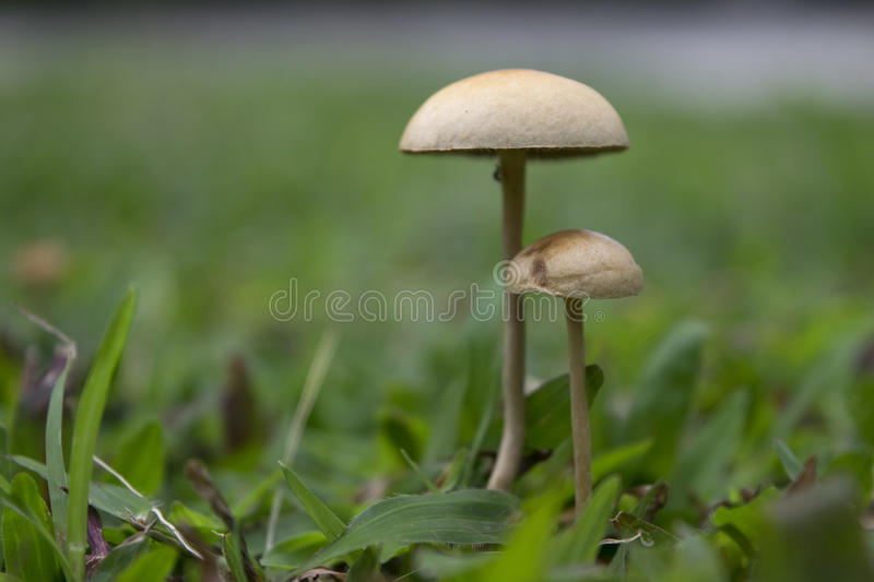Mushrooms. Wild mushrooms growing amongst the grass royalty free stock image