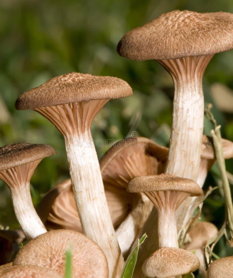 mushrooms7 άγρια περιοχές στοκ εικόνες