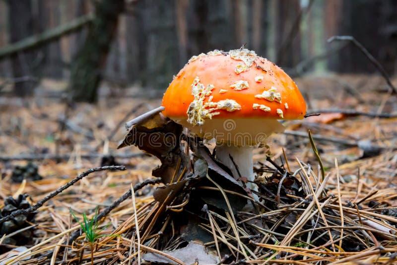 Mushroon agradable del agárico de mosca fotos de archivo libres de regalías
