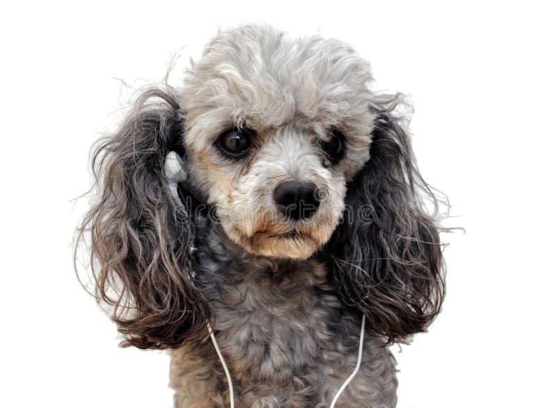 Music dog royalty free stock images