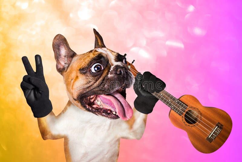 Musicien dr?le de bouledogue fran?ais de gingembre de chien avec l'ukul?l? ?coutant la musique Animal sur un fond lumineux orange photos libres de droits