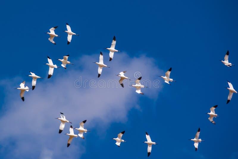 Musikband av avocetfåglar i lagun av Fuente de Piedra i Malaga royaltyfria foton