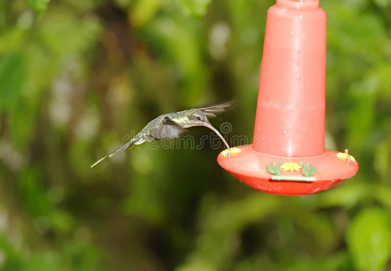 Musikband-tailed Barbthroat kolibri, Costa Rica arkivbild
