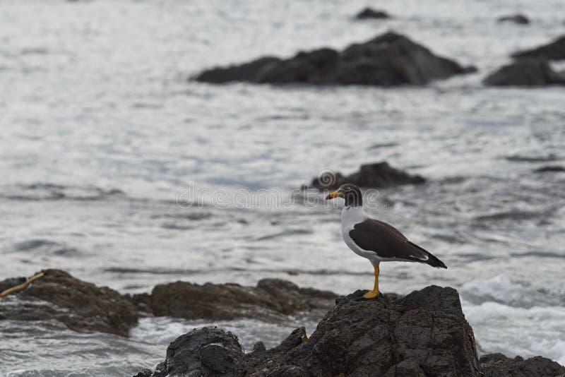 Musikband-tailed fiskmås på kusten av nordliga Chile fotografering för bildbyråer