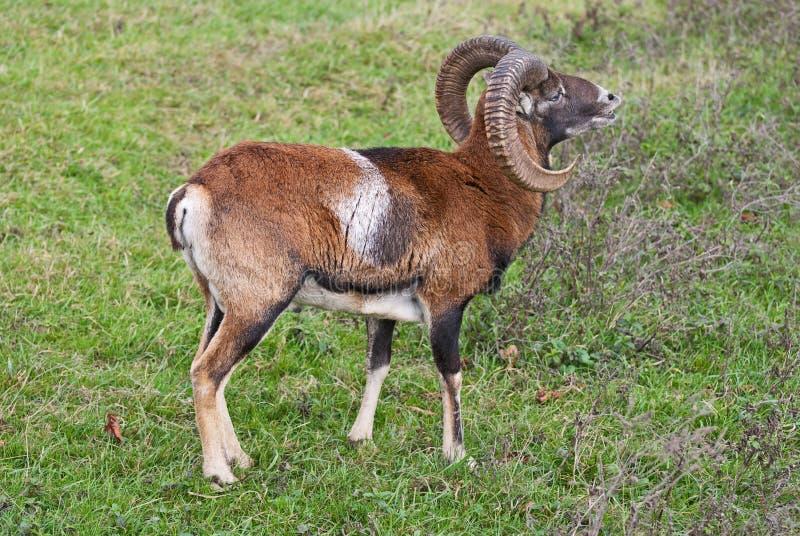 Musimon di gmelini del Ovis di muflone fotografia stock libera da diritti