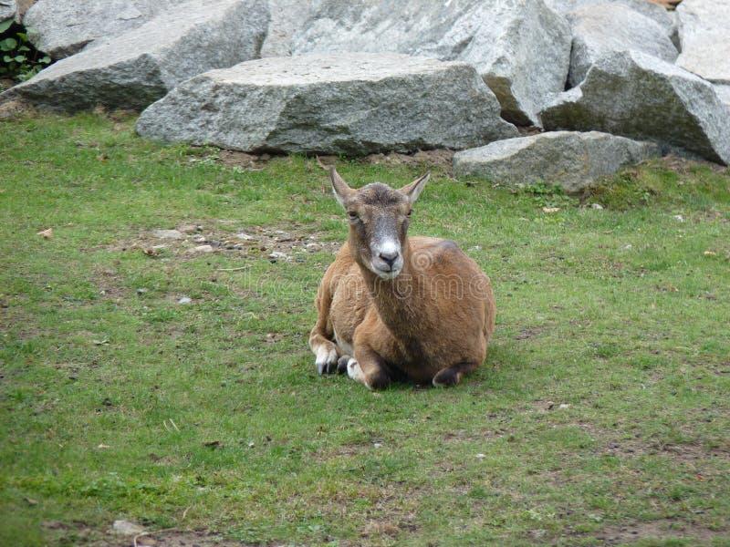 Musimon europeo di orientalis del Ovis di muflone fotografia stock libera da diritti