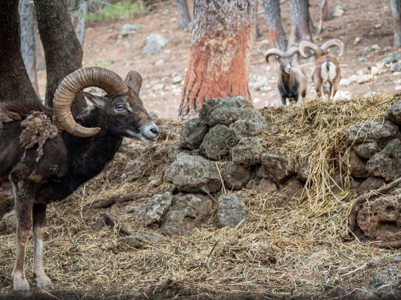 Musimon ibérico de los orientalis del Ovis del mouflon foto de archivo