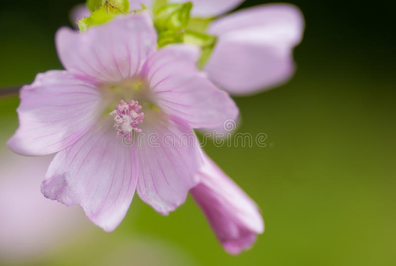 Musk mallow. Musk-mallow (Malva moschata) flowering alongside a footpath royalty free stock images