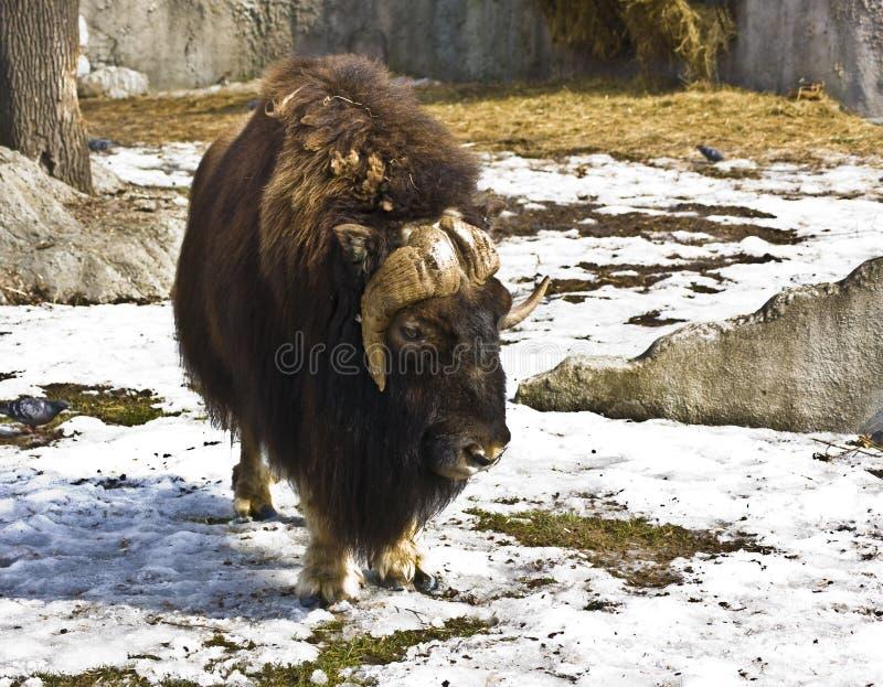 Download Musk-ox stock image. Image of winter, hooped, fauna, wildlife - 15929865