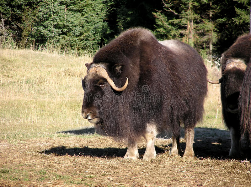 Download Musk ox stock photo. Image of horn, oxen, musk, cpat - 18038592