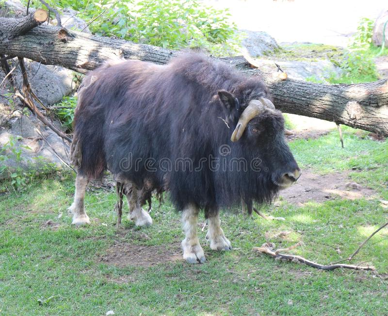 Musk ox. Ovibos moschatus longest hair of all mammals royalty free stock image