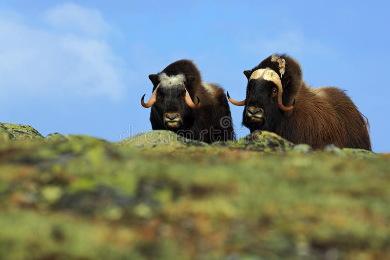musk ox ovibos moschatus two brown animals with snow mountain snoheta in the background big. Black Bedroom Furniture Sets. Home Design Ideas